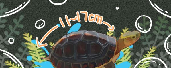 黄缘闭壳龟能长多大,多大可以闭壳