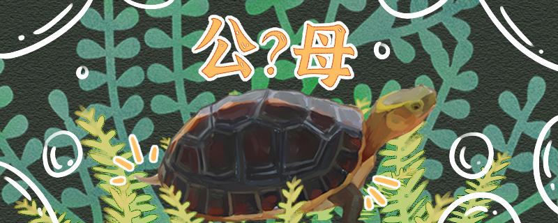 黄缘闭壳龟怎么分公母,公母能一起养吗