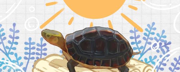 黄缘闭壳龟怎么养,需要晒壳吗