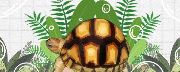 安哥洛卡象龟好养吗,怎么养