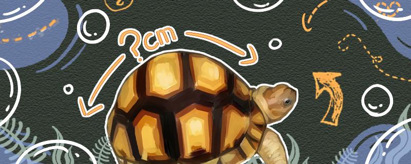 安哥洛卡象龟能长多大,能活多久
