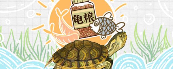 黄耳龟吃什么,多久喂一次