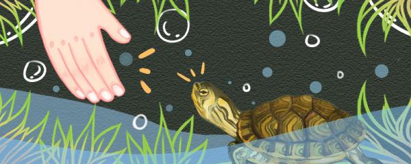 黄耳龟多久才会认主人,养多久才能下蛋