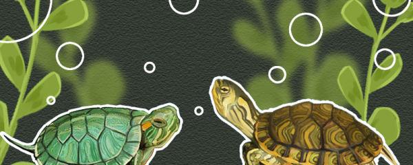黄耳龟和巴西龟的区别是什么,能一起养吗