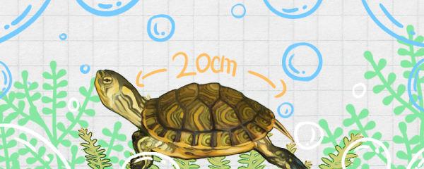 黄耳龟能长多大,多大可以下蛋