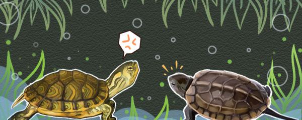 黄耳龟凶不凶,能和草龟混养吗