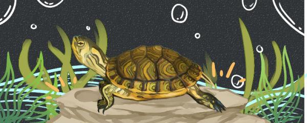黄耳龟需要晒台吗,用什么晒台好