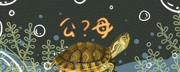 黄耳龟怎么分辨公母,公母能一起养吗
