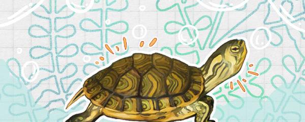 黄耳龟怎么看年龄,怎么看品相