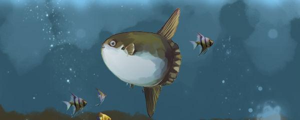 翻车鱼为什么没有尾巴,为什么不会游泳