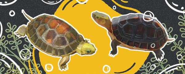金头闭壳龟是不是黄缘闭壳龟,有什么区别