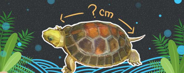 金头闭壳龟能长多大,能活多久