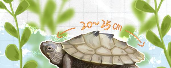 地图龟能长多大,多大能繁殖