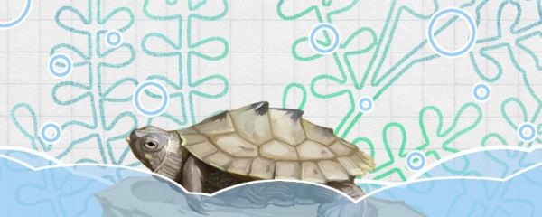 地图龟是深水龟吗,水深多少合适
