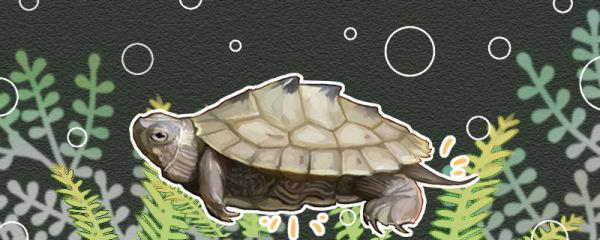 地图龟怎么分公母,公母能一起养吗