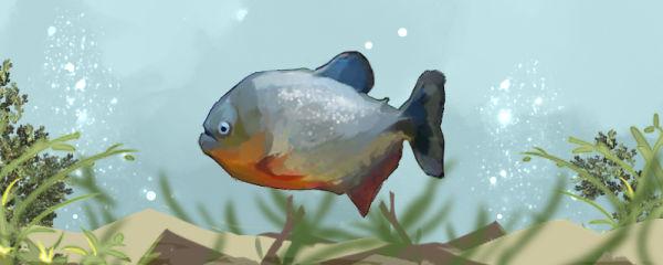食人鱼是淡水鱼吗,真的会吃人吗