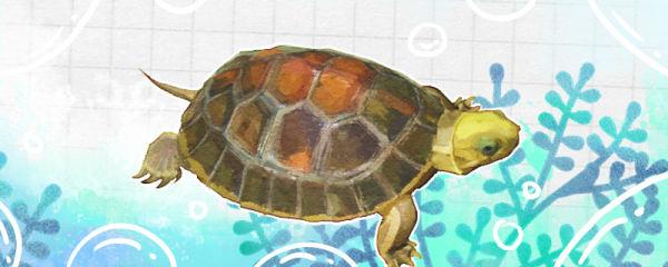 闭壳龟是什么龟,为什么叫闭壳龟