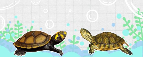 黄耳龟和黄头侧颈龟有什么区别,能一起养吗