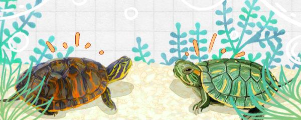 火焰龟和巴西龟的区别是什么,能一起养吗