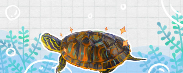 火焰龟怎么养才能红,发色吃什么龟粮