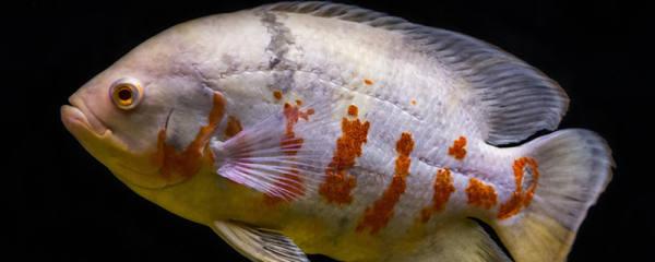 鱼有鼻子吗,鱼的鼻孔有什么用