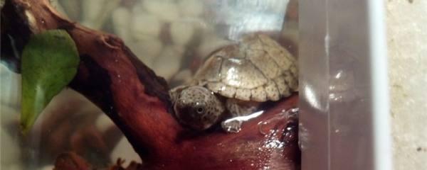 剃刀龟多大能繁殖,多久繁殖一次