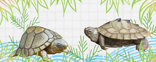剃刀龟可以和什么龟混养,能和草龟一起养吗