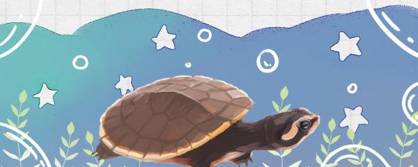 圆澳龟是深水龟吗,水深多少合适