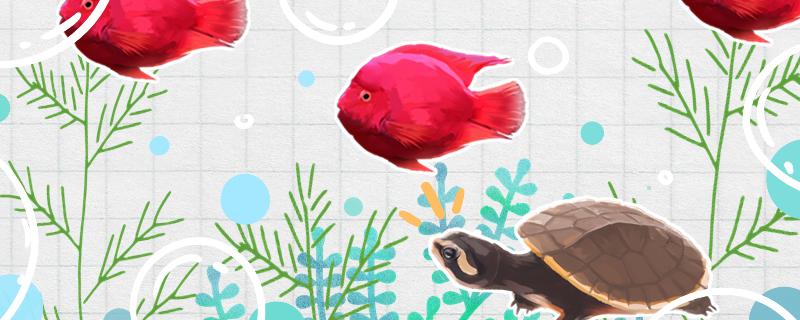 圆澳龟可以和鱼混养吗,可以和什么鱼混养