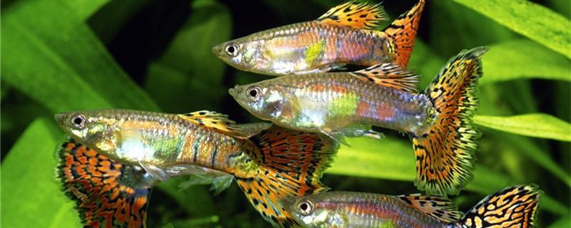 热带鱼生小鱼一次生完吗,什么鱼一次生不完