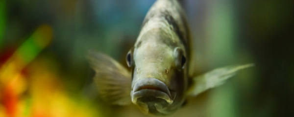 热带鱼多久繁殖一次,热带鱼多长时间产一次仔