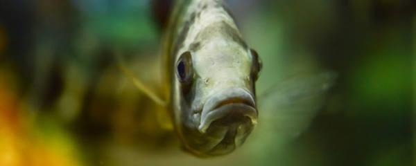 热带鱼可以几天不喂食,热带鱼多久喂一次
