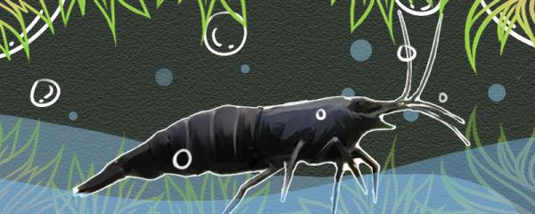 黑壳虾什么时候脱壳,多久换一次壳