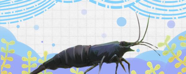 黑壳虾能活多久,多大可以生小虾