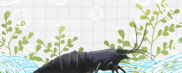 黑壳虾是淡水虾吗,能除褐藻吗