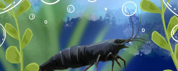 黑壳虾需要光照吗,需要灯光吗