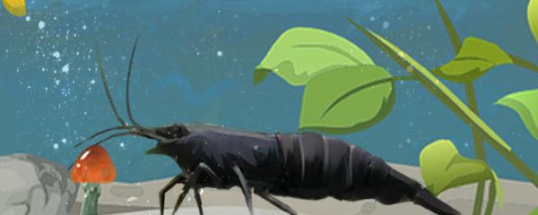黑壳虾需要虾窝吗,需要底泥吗