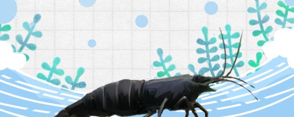 黑壳虾多大可以繁殖,什么时候繁殖