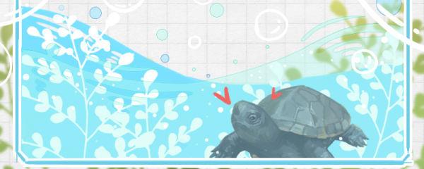 麝香龟是深水龟吗,能长期在深水里面养吗