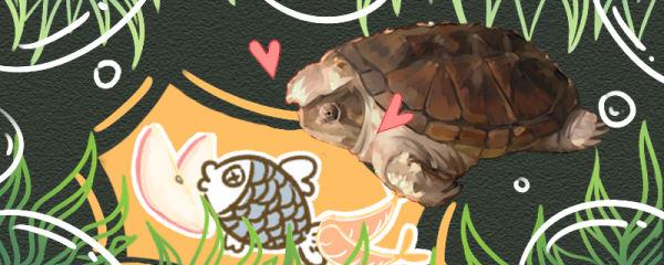 小鳄龟吃什么,怎么开食