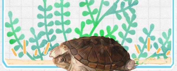 小鳄龟好养吗,怎么养才凶猛