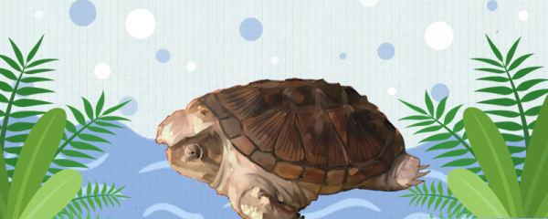小鳄龟可以深水养吗,深了会不会淹死