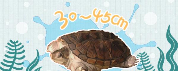 小鳄龟能长多大,能长到多少斤