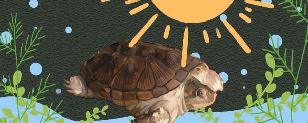小鳄龟需要晒太阳吗,需要晒背台吗