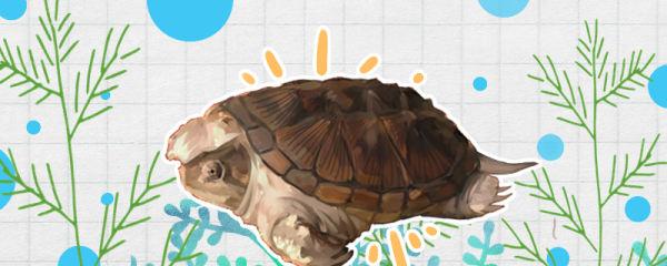 小鳄龟怎么分公母,公母能一起养吗