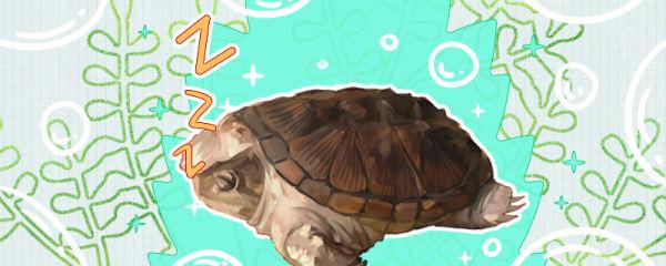 小鳄龟怎么过冬,冬眠好还是不冬眠好