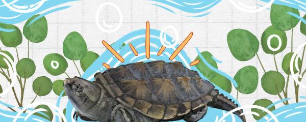 佛鳄龟怎么养才爆刺,能用自来水养吗