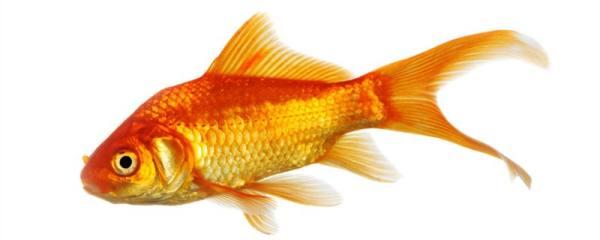 金鱼冬天怎么换水,换水时要注意什么