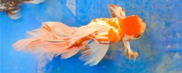 金鱼几天喂一次食,几天不喂食会饿死