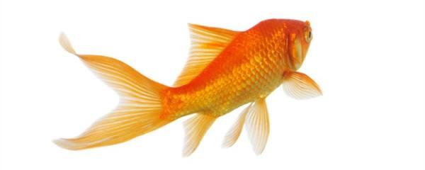 金鱼能和孔雀鱼混养吗,能和锦鲤混养吗